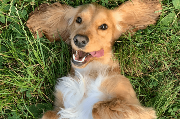 Comment faire pousser de la pelouse avec un chien ?