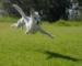 Pelouse abîmée par les chiens : que faire ?