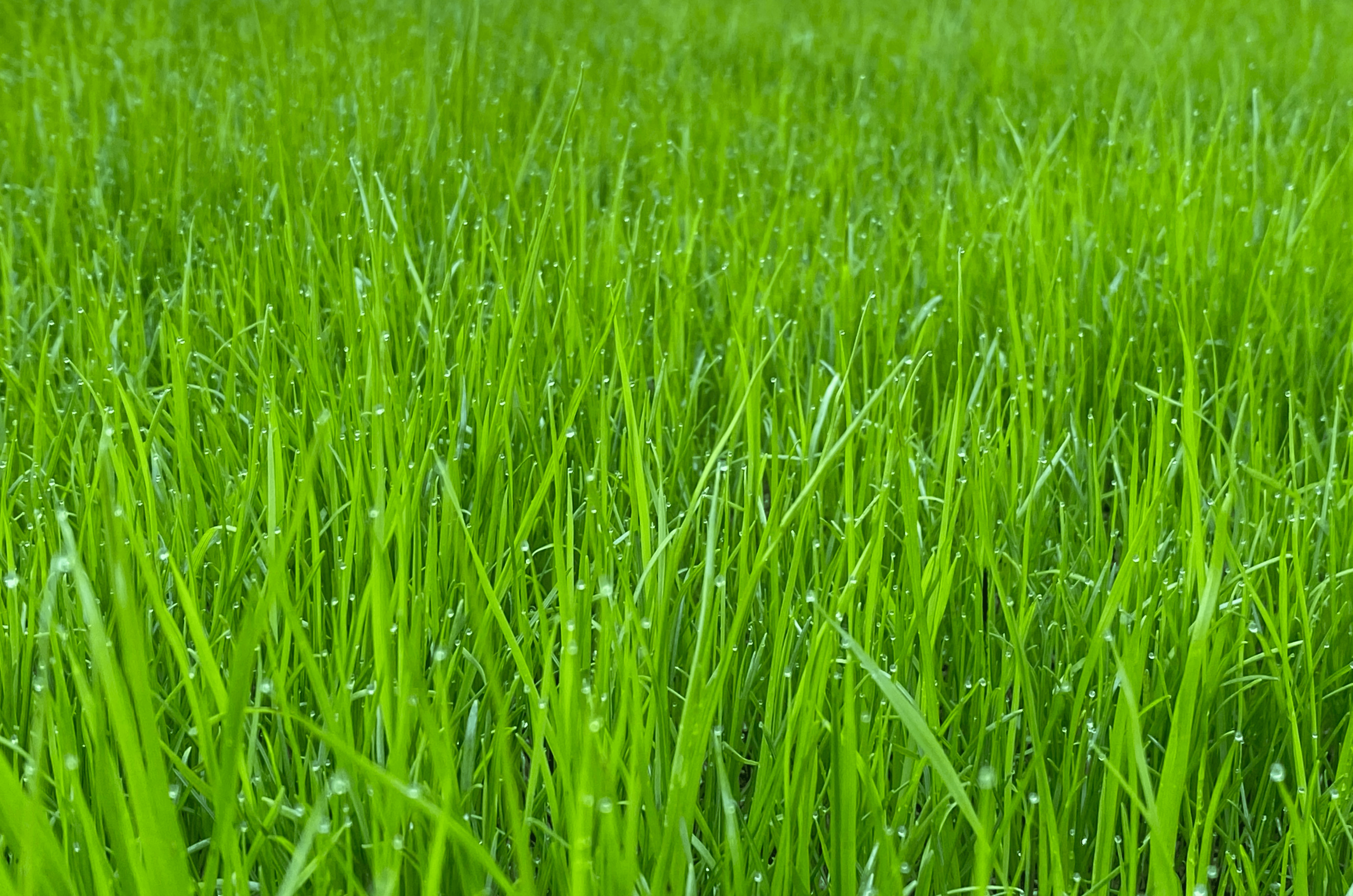 Avoir un gazon vert toute l'année